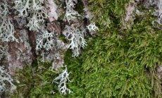 Kerpės dažnai yra painiojamos su samanomis. Kairėje pusėje yra pilka kerpė (sodinė briedaragė), o dešinėje žaliuoja samanos (paprastoji šilsamanė).