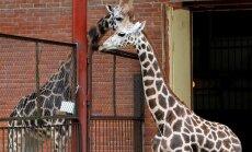 Į zoologijos sodą atgabenta naujoji žirafa