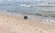 Bebras prie jūros