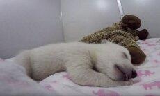 Miegantis lokiukas