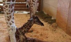 """Muzikinis sveikinimas žirafai April ir jos mažyliui: """"Pagaliau laukimas baigėsi"""""""