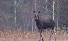 S. Paltanavičius: miške lankykitės rečiau – prasideda briedžių ruja