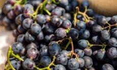 Baltos apnašos ant vynuogių: bijoti ar ne?