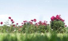 VDU Kauno botanikos sode nuostabus reginys – pražydo bijūnai