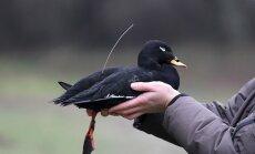 Paukštis su siųstuvu (Nuodėgulė) Ornitologų M. Dagio ir J. Morkūno nuotraukos.