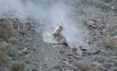 Snieginis leopardas sugauna melsvųjų avių jauniklį