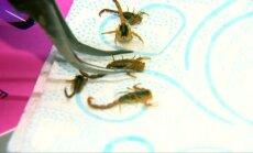 Stilingos meksikietės ant nagų klijuojasi du eurus kainuojančius skorpionus