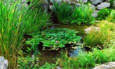 Tvenkinio augalų komponavimo patarimai