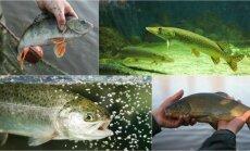 Nacionaliniai žuvies rinkimai
