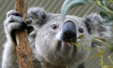 Koala kremta eukalipto lapą Sidnėjaus zoologijos sode