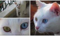 Skirtingų akių katė Turkijoje