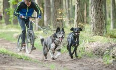 Šunų kinkinių varžybos