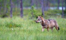 Kaišiadorių rajone sumedžioti trys vilkai/ Nuotrauka asociatyvi