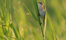 Vienas rečiausių Europos paukščių – meldinė nendrinukė