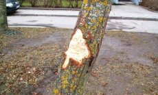 Sužaloti medžiai Panevėžyje
