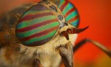 Sparva (lot . Tabanidae)