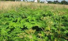 Pirmaisiais metais žaliuojantys Sosnovskio barščiai