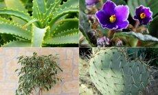 7 populiarūs augalai ir jų paslaptingos savybės, apie kurias žino ne visi