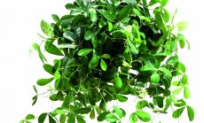 Kaip pakeisti interjerą pasitelkiant vijoklinius augalus