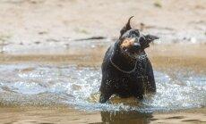 Šuo maudosi