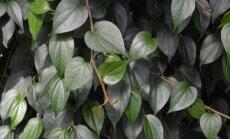 """Afrodiziakai – augalai aistrai <sup style=""""font-family: yui-tmp;"""">2 dalis</sup>"""