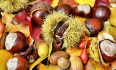 Kaštonai tarp rudeninių lapų