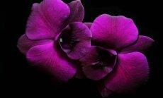 Kuo tręšti orchidėjas, kad jos pražystų jau po mėnesio