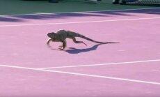 Iguana teniso korte