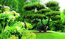 Idėja kitų metų svajonių sodui: įvairiaspalviai spygliuočiai