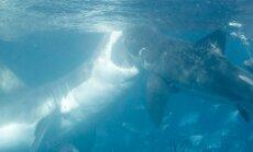 Ryklių dvikova