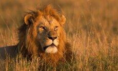 Pasaulyje iki šiol medžiojami liūtai