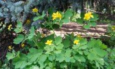 Patvorėje auganti nuodinga žolė - patikimas ginklas prieš vėžį