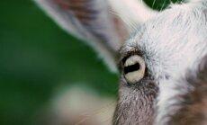 Ožkos akis