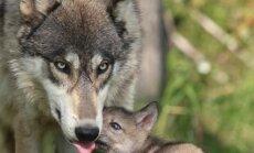 Vilkų medžioklė eina į pabaigą