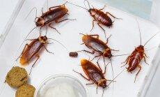 Amerikietiški tarakonai (Periplaneta americana - lot.)