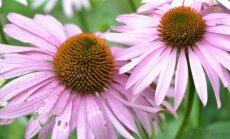 "<span style=""color: #ff0000;"">Įdomu:</span> afrodiziakai – augalai aistrai"