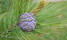 Kedrinių pušų kankorėžiai stambūs, jauni būna melsvai violetinės spalvos.