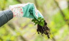 Kaip kovoti su piktžolėmis, kai ravėti nusibosta
