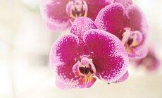 Kaip stilingai įkomponuoti orchidėją interjere