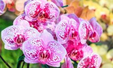 Orchidėjų mitai: kaip nepaklysti auginimo ir priežiūros pinklėse