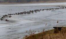 Paukščiai bando prisitaikyti prie ledo