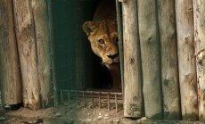 Naujieji zoologijos sodo liūtai neskuba pasirodyti lankytojams