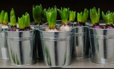 Aplenkite gamtą: pavasarį žydinčių svogūninių gėlių priežiūra ir sodinimas