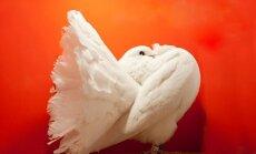 Povinis balandis, paukščiai, balandžiai