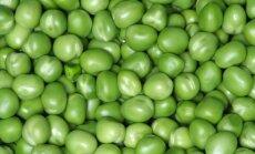 Daržo žirnių įvairovė: kaip auginti ir prižiūrėti