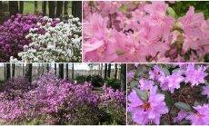 Rododendrai VU Botanikos sode