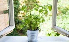 Prieskoniniai augalai: auginimo vieta, dauginimas ir laikymas