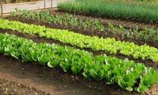 Vėlyva daržovių sėja ir daigų sodinimas