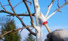 Specialisto patarimai, ką reikėtų žinoti apie rudeninį medžių balinimą