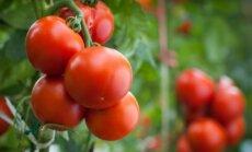 Pomidorų metas: daigų atranka, sodinimo laikas ir atramų parinkimas